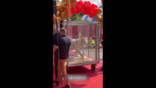 Épouvantable : ce tigre de cirque refuse de sortir de sa cage et reçoit des coups de bâton