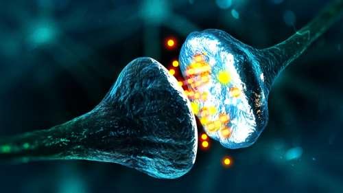 Alzheimer : une étude révèle le «talon d'Achille» de la dégénérescence synaptique
