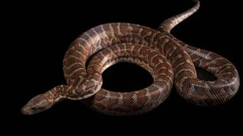Une nouvelle espèce de boa découverte en République dominicaine