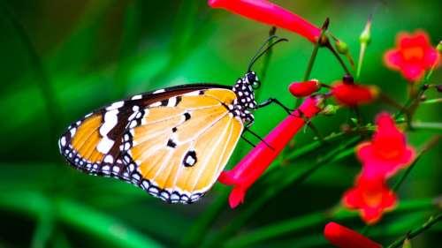 Ces papillons cannibalisent des membres de leur propre espèce pour séduire les femelles