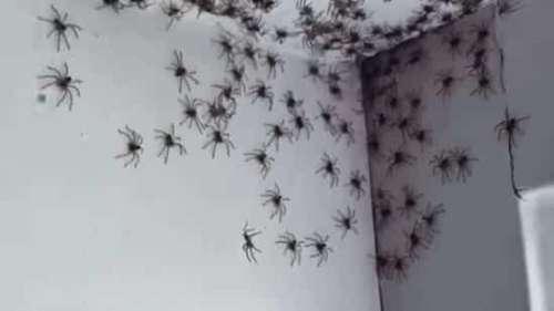 Australie : une femme découvre sa maison infestée par des dizaines d'araignées (VIDEO)