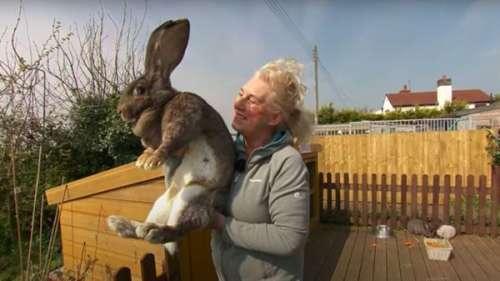 Un appel à témoins lancé après le vol de Darius, le plus grand lapin du monde