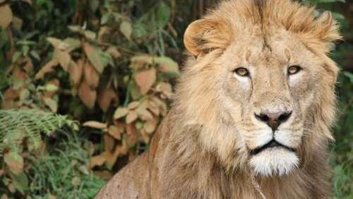 En Tanzanie, trois enfants trouvent la mort après une attaque de lions