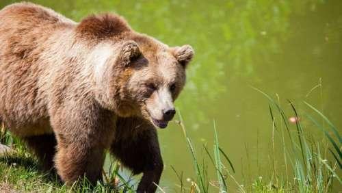 Un berger se fait charger par un ours alors qu'il tentait de sauver ses bêtes