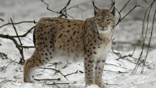 Aux Pays-Bas, les secrets du lynx retrouvé dans un fort romain des confins du Rhin