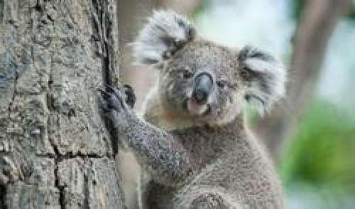 Chlamydia : un vaccin humain grâce au koala ?