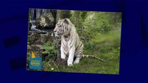 Sherkan, le tigre blanc du zoo de Beauval, est mort à 18 ans