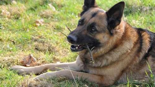 Le premier chien testé positif au coronavirus est mort