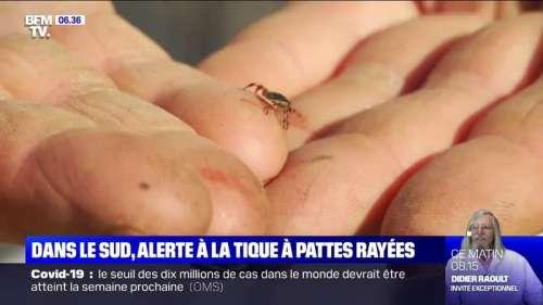 La tique à pattes rayées, potentiellement porteuse de maladies graves, s'installe dans le sud de la France