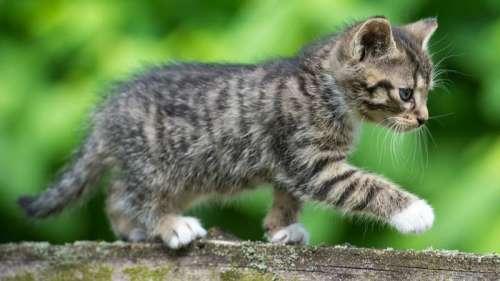 La SPA alerte sur le bond du nombre de chatons dans les refuges