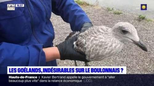 Boulogne-sur-Mer: comment la ville s'organise pour lutter contres les nuisances provoquées par les goélands
