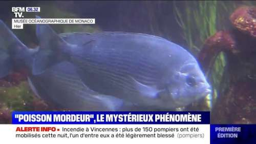 Prenez garde à vos mollets lors de la baignade, les poissons mordeurs sévissent dans le sud de la France