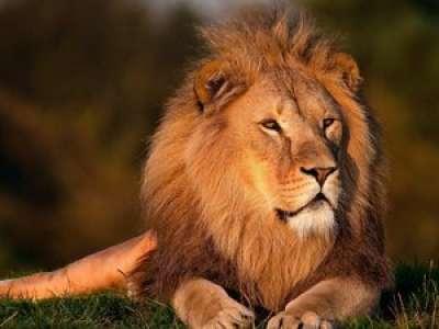 Trafic d'animaux : plus de 300 kg d'os de lions saisis en Afrique du Sud