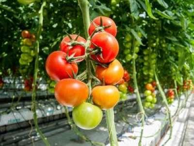 """Virus de la tomate : 5 questions sur le """"ToBRFV"""" qui a fait son apparition en France"""