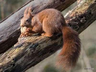 Dans le Lot, la LPO veut créer des passerelles pour sauver les écureuils