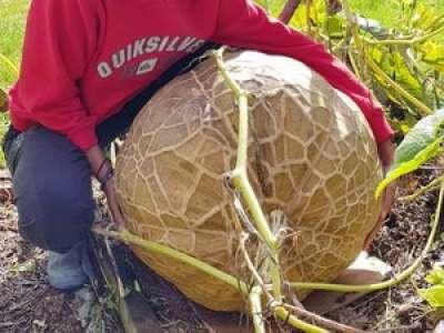 À Bazus, une courge du Pérou de 33 kg
