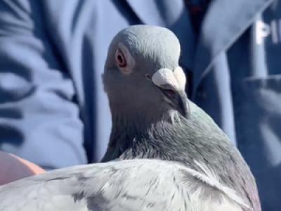 Un pigeon voyageur de compétition vendu 1,6 million d'euros, un nouveau record mondial