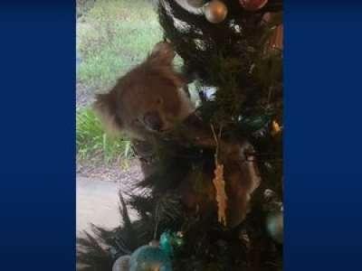 VIDEO. En Australie, une famille découvre un koala sur son sapin de Noël