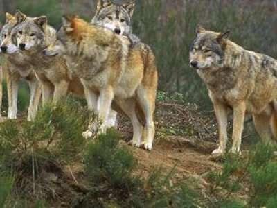 Cinq loups sortis de leur enclos traqués par les gendarmes près de Perpignan