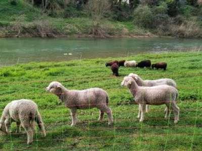 Espaces verts : à Calmont, des moutons en renfort