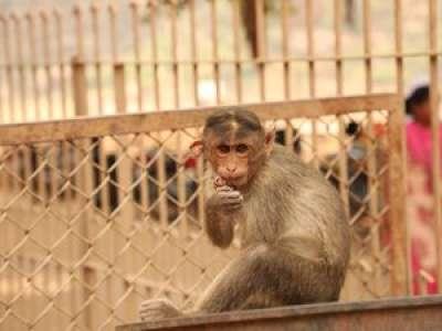 Inde : ils se servaient de singes pour voler de l'argent aux passants