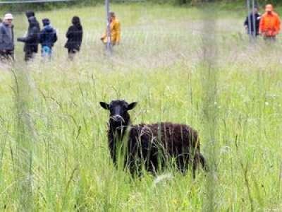 Insolite : dans le Tarn-et-Garonne, opération traque des moutons sauvages à Bruniquel