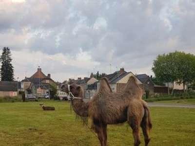 Insolite : en Mayenne, un maire tente de rattraper un chameau... à vélo