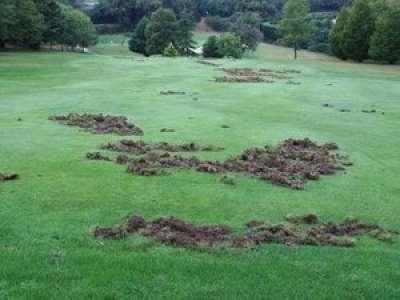 Près de Toulouse, des sangliers dévastent le parcours d'un superbe golf 18 trous