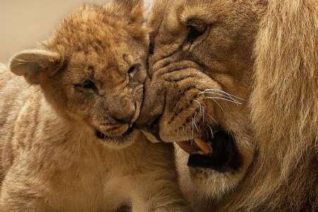 Insolite            Naissance inattendue de deux lionceaux d'Afrique au zoo d'Amnéville