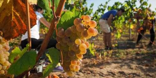 Jean Castex annonce 76millions d'euros d'aides supplémentaires aux viticulteurs français