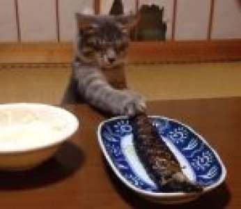 Un chat essaie d'attraper un poisson grillé (Japon)