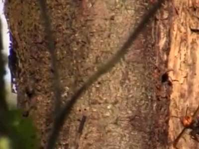 Un premier nid de frelons meurtriers découvert aux États-Unis