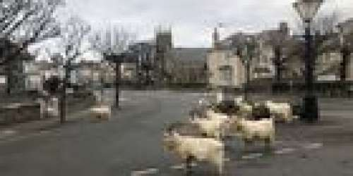 Effet collatéral du coronavirus: des canards, chèvres et éléphants se baladent désormais dans les rues, tout autour de la planète (VIDEO)