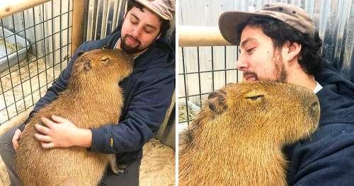 17 Photos qui montrent qu'un seul capybara est aussi doux et mignon que 100 chiots réunis