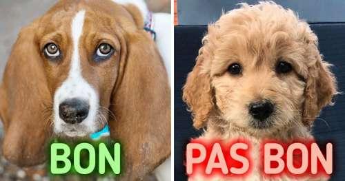 12 Races de chiens parfaites pour les nouveaux propriétaires d'animaux