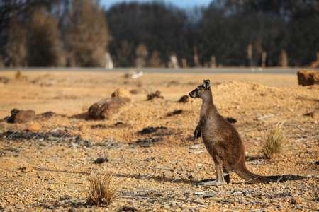"""Animaux. De l'Australie aux États-Unis: """"Les kangourous ne sont pas des chaussures""""Courrier international 19/04/2021 - 09:27"""