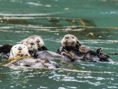 Torride. Les loutres de l'aquarium de Vancouver font un carton sur TwitchCBC News 31/05/2021 - 16:49