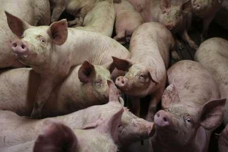 Porcs. En Chine, la technologie révolutionne l'élevage industrielThe Guardian 11/12/2020 - 06:09