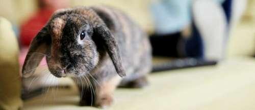 Avis de recherche: le plus grand lapin du monde a étévolé en Angleterre