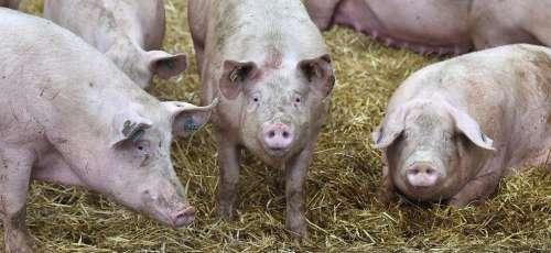 """Un nouveau virus de grippe porcine transmissible à l'homme """"propice à une pandémie"""" vient d'être découvert"""