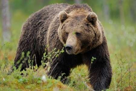 Attaquée par un ours, elle survit grâce à son ordinateur portable
