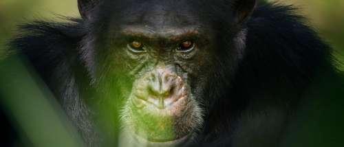 Ce soir « Chimpanzés, le combat des chefs », une histoire extraordinaire racontée par François Morel sur France 2 (vidéo)