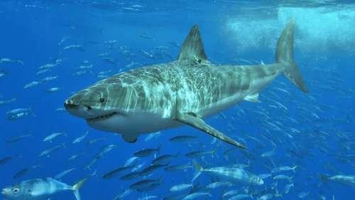La véritable dangerosité des requins pour l'humain